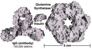 """An image of three Nanoparticles. The first Nanoparticle is named """"IgG (antibody)"""" with a 150,000 daltons that is shaped like three circles with holes put together. Th second Nanoparticle is named """"Insulin"""" that is shaped like a rock. And lastly the third Nanoparticle is named """"Glutamine Synthetase,"""" shaped as circle with a hole in the middle, with the size of 5nm."""
