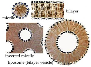 "An image of four shapes. The first shape it to the top left in a circle shape with smaller circles surrounding the big circle in the middle labeled as ""micelle."" The next shape is to the top right side with a rectangular shape with tiny circles lined up on the top and bottom of the rectangle. The shape is labeled as ""bilayer."" The shape to the bottom right is a big circle with a circular hole in the middle and is labeled as ""liposome(bilayer vesicle)."" And surrounding the outer and inner circle there are tiny circle dots. And the last image is labeled as ""Inverted miscelle"" that is shaped like a square with 6 circle holes in the square. And the circles are outlined with tiny circles."