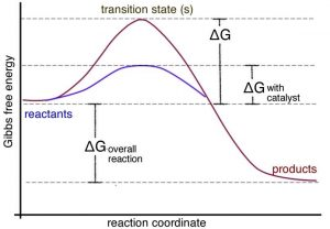 "An image of a graph with the x-axis being labeled as ""reaction coordinate"" and the y-axis being labeled as ""Gibbs free energy."" In the graph there are four dotted horizontal lines. From the bottom first line to the second line there is a label of ""Delta G overall reaction."" From the second line to the third line there is a label of ""Delta G with catalyst."" And the from the second line to the forth line there is a label of ""Delta G."" On the very top line there is a label of ""transition state(S)."" There are two curved lines on in purple and one in red. The purple line starts on the second line from the bottom hits the third line with its peak and goes into the red line before it touches the second line again, and is labeled as ""reactants."" The red line starts on the same place and goes until the fourth line to reach its peak and goes all the way down to the first line and is labeled as ""products."""