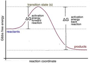 "An image of a graph with the x-axis label as ""reaction coordinate"" and the y-axis label as ""Gibbs free energy."" The graph has three dotted lines going vertically. Starting from the top line there is a label ""transition state(s)."" From the top line to the bottom line there is a label ""Delta G activation energy back reaction."" And a label for the top and middle line, ""Delta G activation energy forward reaction."" The graph start off in the middle line with a label of ""reactants"" and then reaches the peak of the curve on the top line. And then goes down towards the bottom line with a label of ""products."""