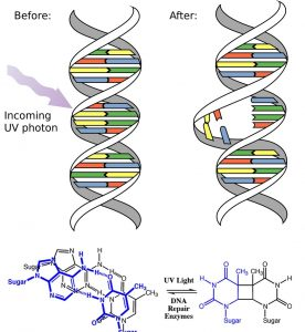 "An image of two DNA strands with one labeled before and one labeled as after. The before DNA strand has a purple arrow pointed towards the strand and has a label of ""incoming UV photon."" And the after strand has the spot of the strand where the arrow was pointed at broken."