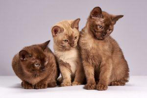 three brown cats