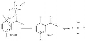 An image of carbonyl by NADH by delivery of H- to the carbonyl carbon.