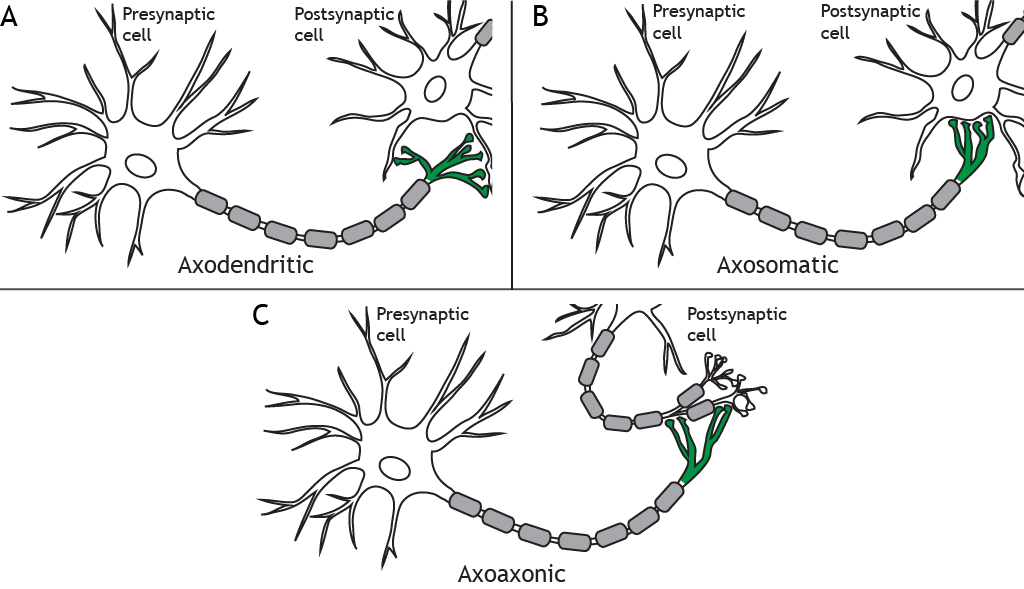 Illustrations of a presynaptic neuron forming synapses with different regions of a postsynaptic cell. Details in caption.