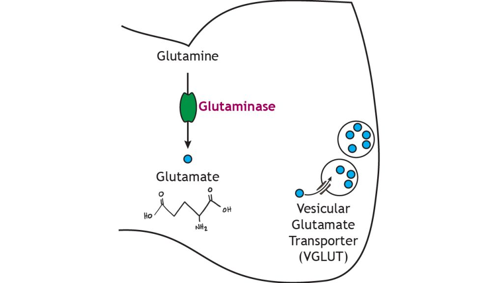 Illustrated pathway of glutamate synthesis and storage. Details in caption.