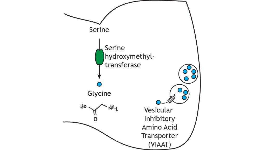 Illustrated pathway of glycine synthesis and storage. Details in caption.