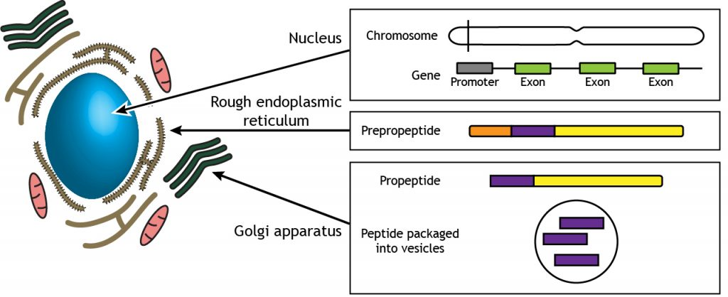 Illustrated pathway of neuropeptide synthesis and storage. Details in caption.