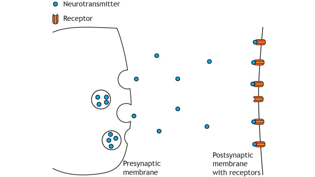 Illustration of presynaptic terminal releasing neurotransmitters into the synaptic cleft. Details in caption.