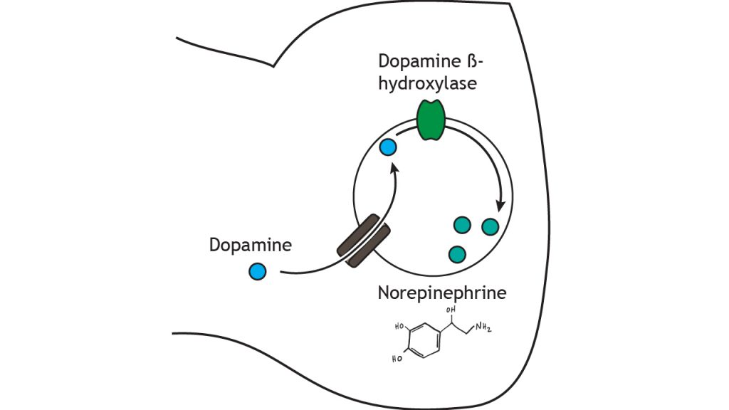 Illustrated pathway of norepinephrine synthesis and storage. Details in caption.