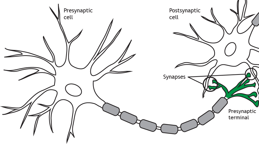 Illustrated neuron highlighting the presynaptic terminal and synapses. Details in caption.