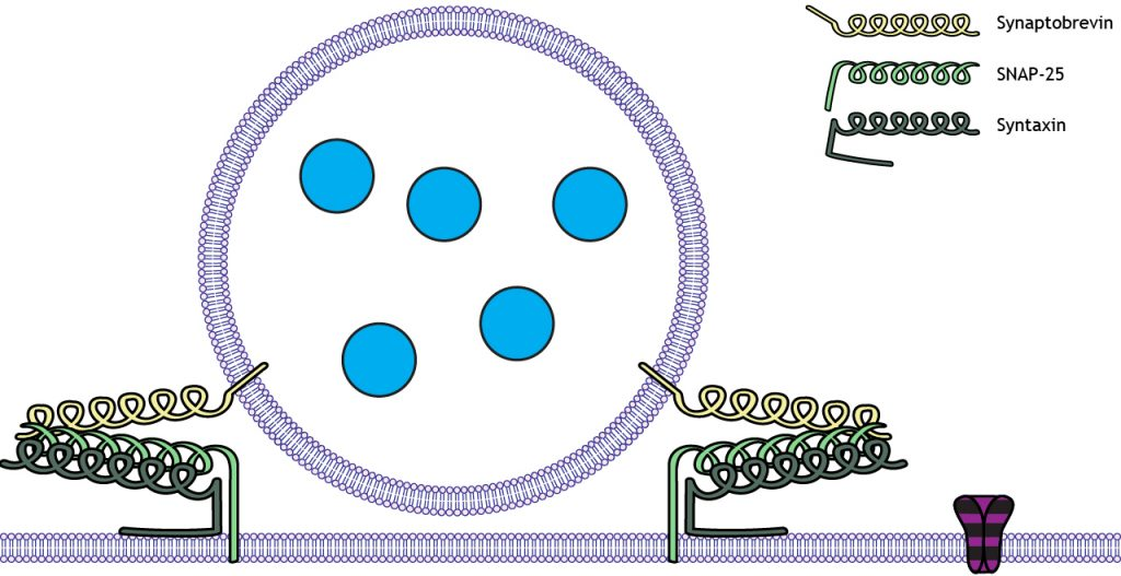 Illustrated vesicle docked at the membrane by SNARE proteins. Details in caption.