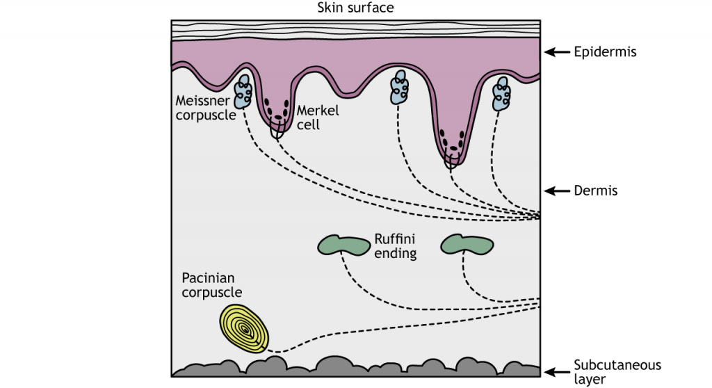 Illustration of a cross-section of skin showing location of touch receptors. Details in caption.