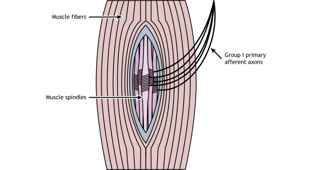 Illustration of a muscle spindle. Details in caption.