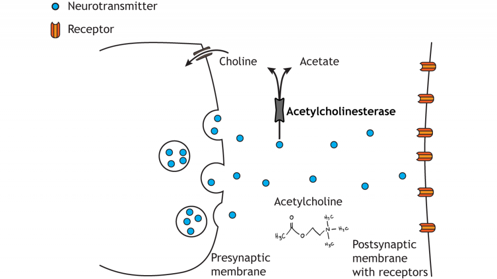 Illustrated pathway of acetylcholine degradation. Details in caption.