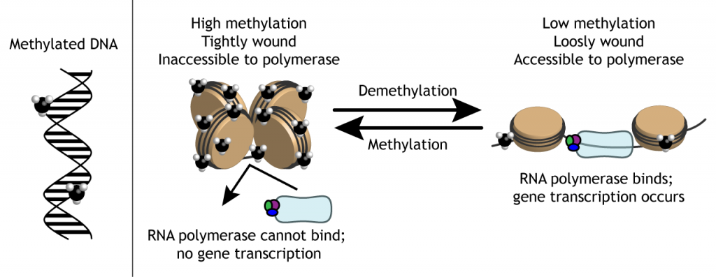Illustration of how epigenetic methyl groups can alter DNA coiling around histones. Details in caption.