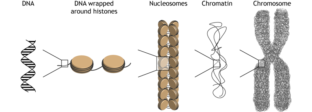 Illustration of how DNA is packaged and condensed into chromosomes in the cell. Details in caption.