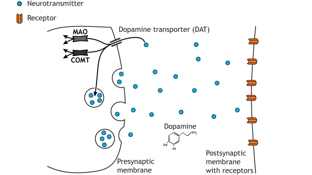 Illustrated pathway of dopamine degradation. Details in caption.