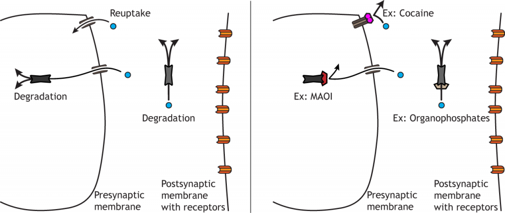 Illustration of synaptic terminal showing drug action on transmitter clearance. Details in caption.