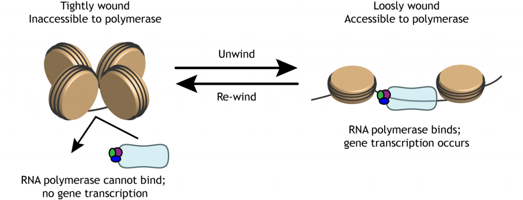 Illustration of tightly wound DNA unwinding so RNA polymerase can bind. Details in caption.