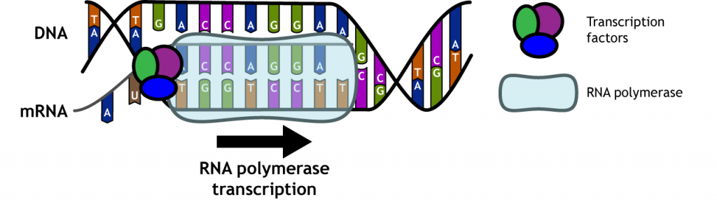 Illustration of RNA polymerase transcribing DNA into RNA. Details in caption.