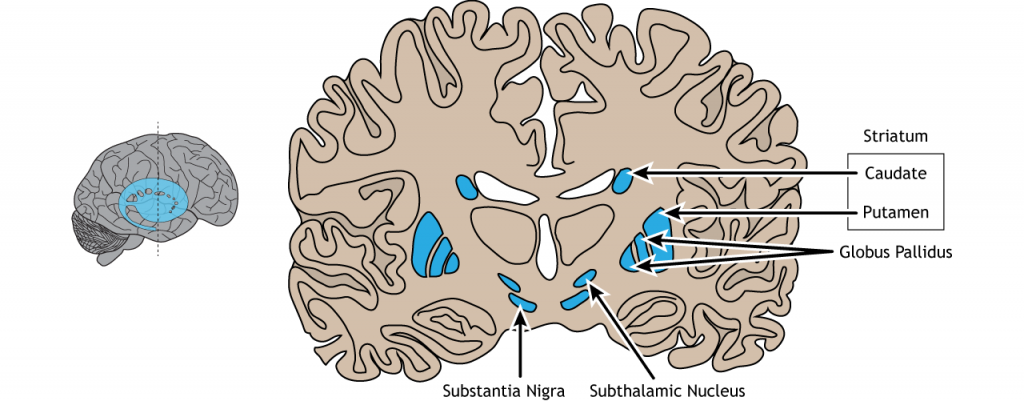 Illustration of a coronal section of the brain showing the location of the basal ganglia and region names. Details in caption.