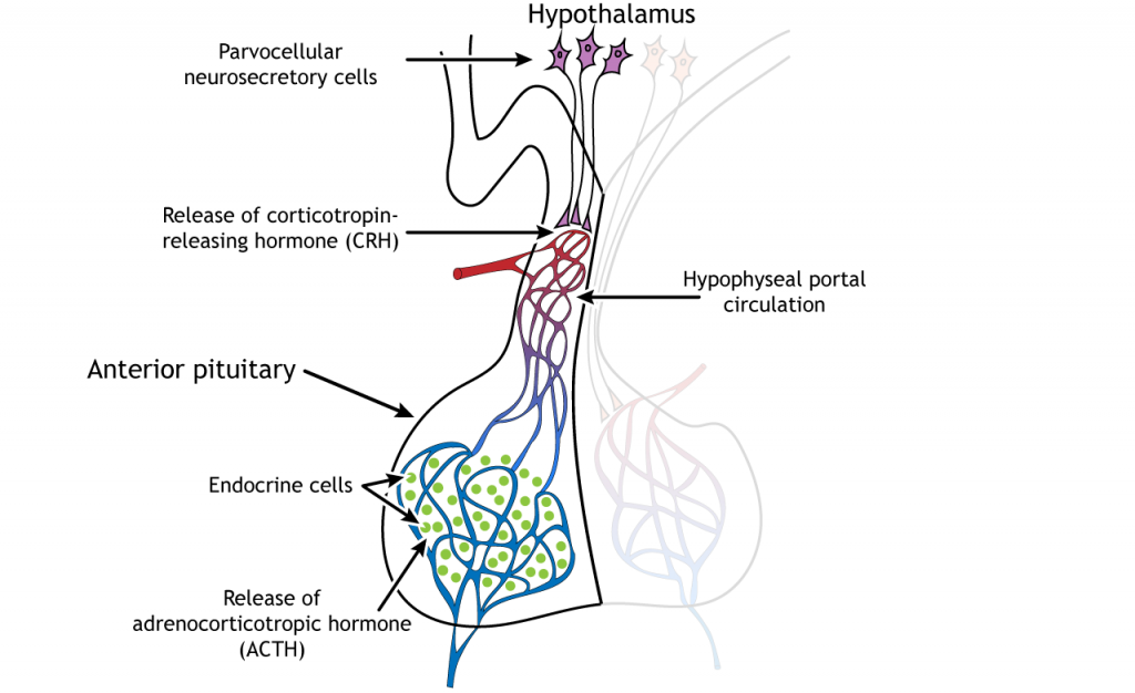 Illustration showing stress hormone release from the hypothalamus and pituitary. Details in caption and text.