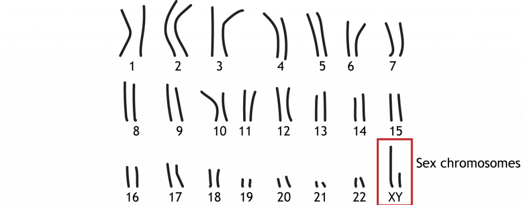 22 pairs of autosomal chromosomes and 1 pair of sex chromosomes. Details in text and caption.