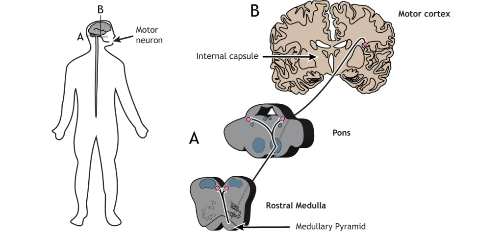 Illustration of the corticobular pathway. Details in caption