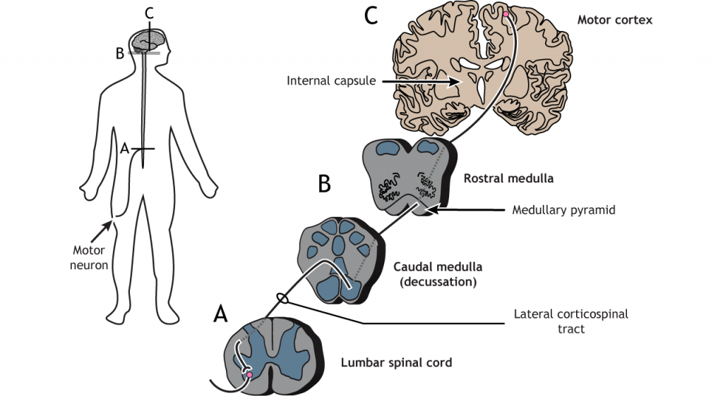 Illustration of the descending corticospinal motor tract. Details in caption.