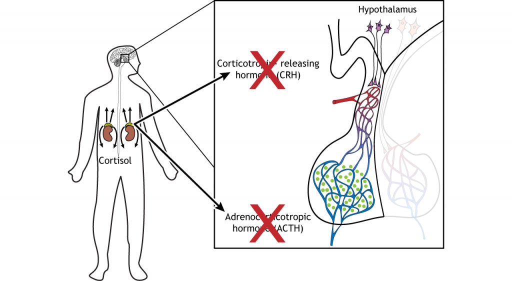 Illustration of cortisol inhibiting release of CRH and ACTH from the brain. Details in caption and text.