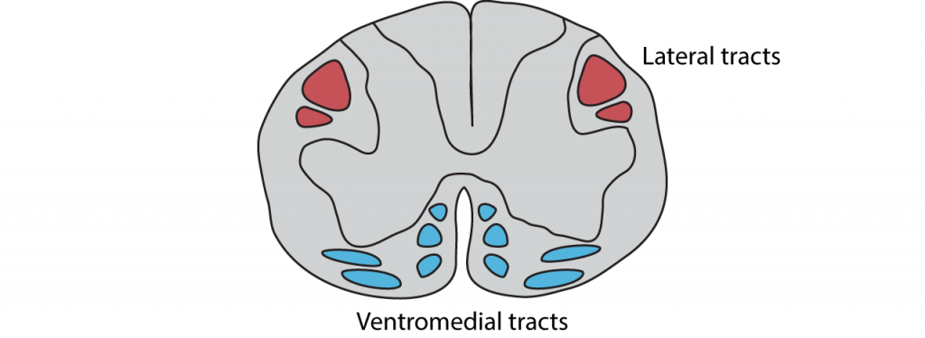 Illustration of a spinal cord with motor tracts. Details in caption.