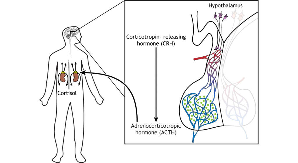 Illustration showing ACTH release from the pituitary causing cortisol release from the adrenal glands. Details in caption and text.