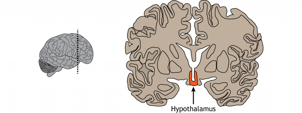 Illustration of a coronal section of the brain showing the location of the hypothalamus. Details in caption.