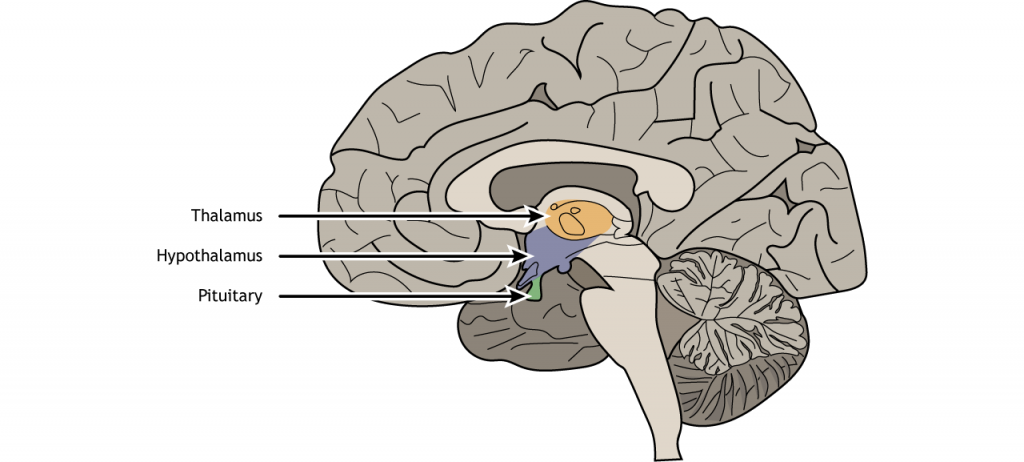 Illustration of a sagittal section of the brain showing the location of the hypothalamus and the pituitary.
