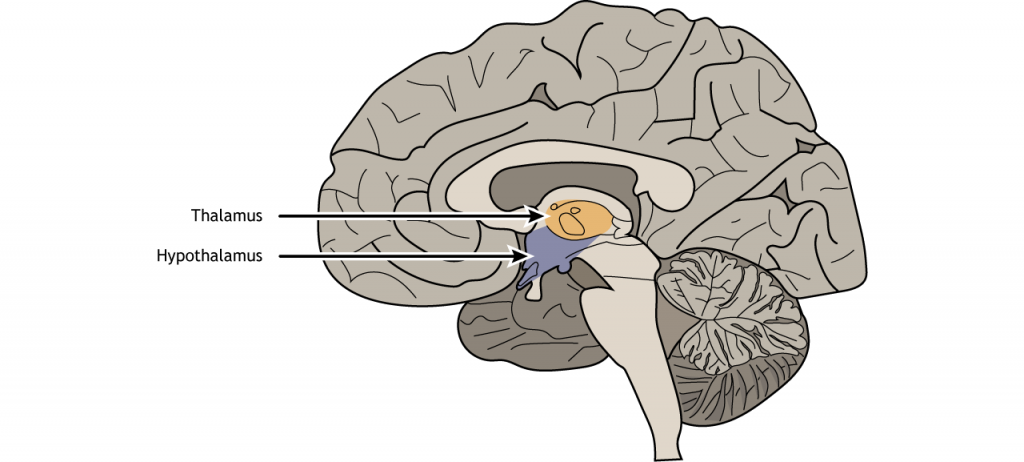 Illustration of a sagittal section of the brain showing the location of the hypothalamus.