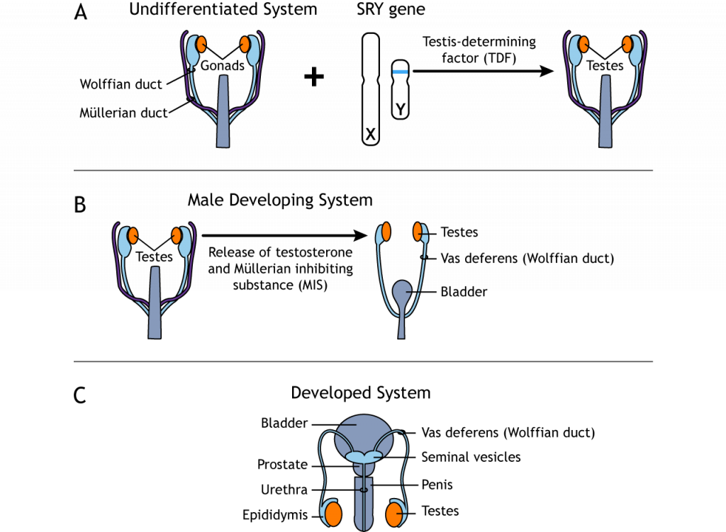 Development of the male reproductive system. Details in text and caption.