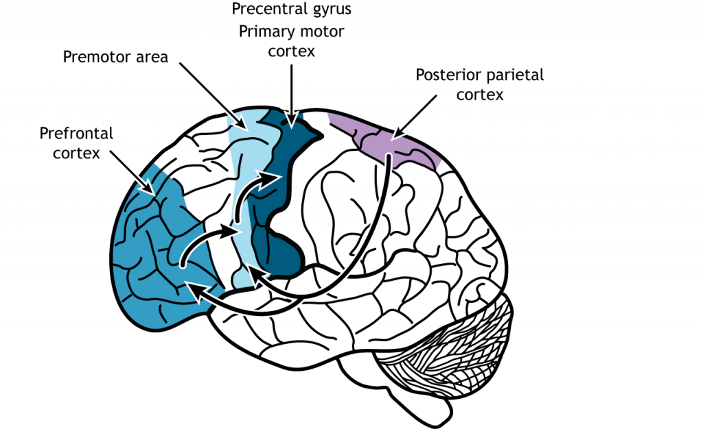 Illustration of the brain showing an information pathway from the posterior parietal frontal lobe. Details in caption.
