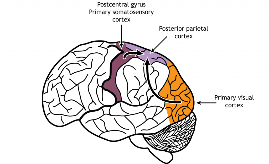 Illustration of the brain showing sensory information traveling to the posterior parietal lobe. Details in caption.
