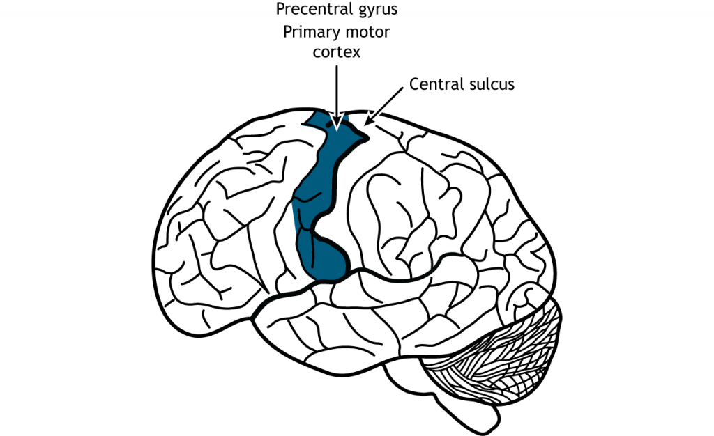 Illustration of the brain showing the location of the primary motor cortex. Details in caption.