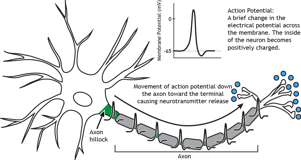 Illustrated neuron highlighting the movement of an action potential down the axon hillock and axon. Details in caption.