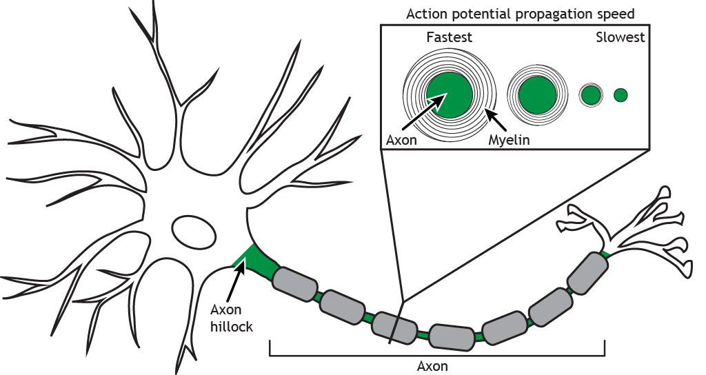 Illustrated neuron highlighting different axon diameters and thickness of myelin. Details in caption.