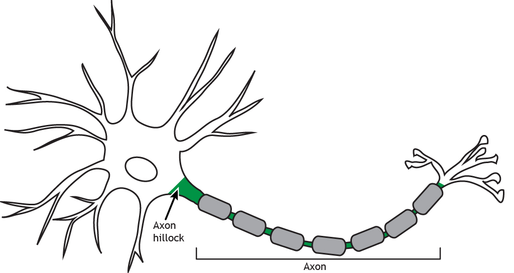 Illustrated neuron highlighting the axon hillock and axon. Details found in caption.