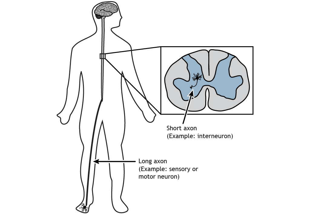 Illustrated human body showing a short axon and a long axon. Details in caption.