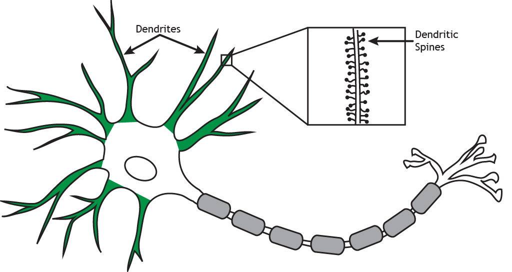 Illustrated neuron highlighting dendrites and dendritic spines. Details found in caption.