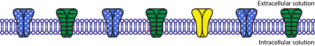 Illustrated phospholipid bilayer with seven closed ion channels.