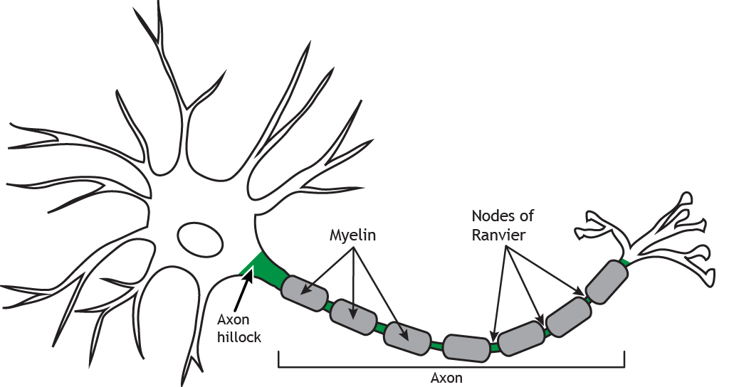 Illustrated neuron highlighting myelin and Nodes of Ranvier. Details in caption.