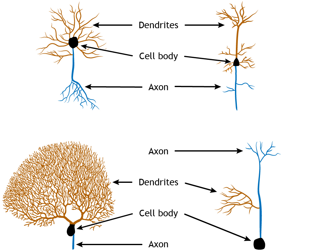 Four neuron illustrations showing variations in structure. Details in caption.