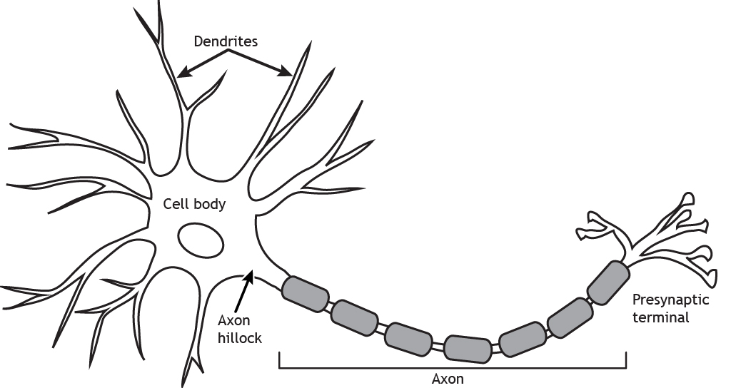 Structures of the neuron. Details found in caption.