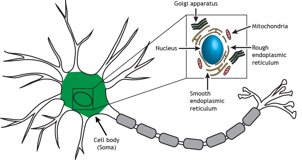 Illustrated neuron highlighting the soma and cellular organelles. Details found in caption.