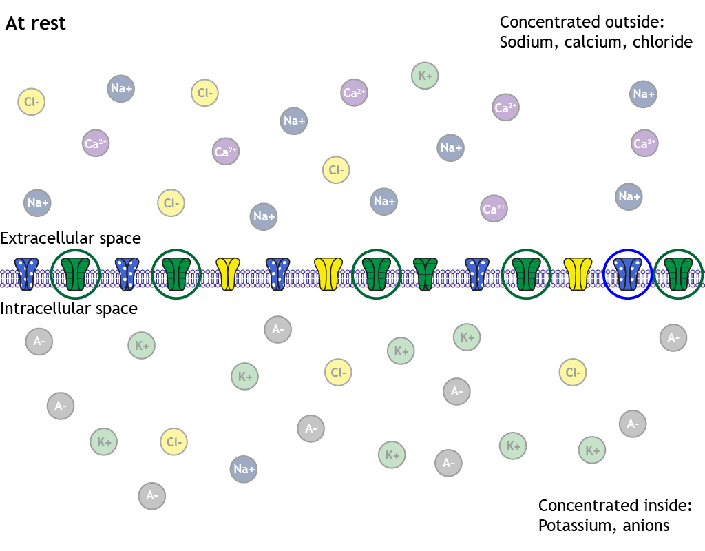 Illustrated neuron membrane at rest with illustrated ion channels. Most potassium channels are open, most sodium channels are closed, some chloride channels are open. Open potassium and sodium channels are circled. Ions inside and outside of the cell are faded.